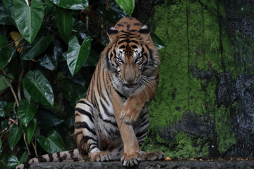 Printed roller blinds Tiger tiger show tongue sitdown tone dark