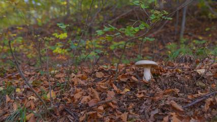 fungo nel bosco in autunno, in primo piano