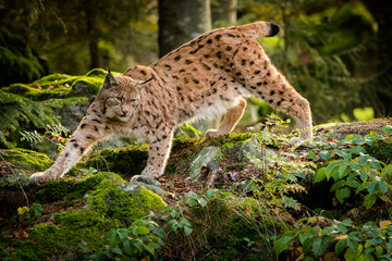 Eurasian lynx in the natural environment, close up, Lynx lynx