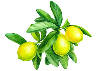 lemons on a branch on isolated white background, watercolor illustration