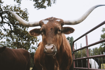 Wall Mural - Close up portrait of Texas Longhorn cow in field by gate.