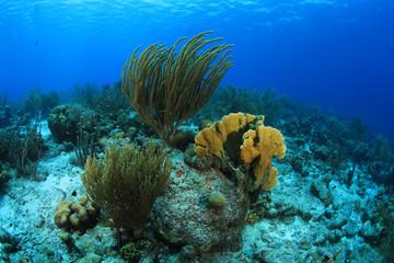 Wall Mural - Beautiful coral reef underwater in the caribbean sea