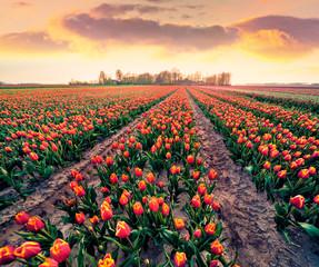 Wall Mural - Romantic morning view of tulip farm near Espel village. Splendid spring sunrise in Netherlands, Europe. Beauty of nature concept background..