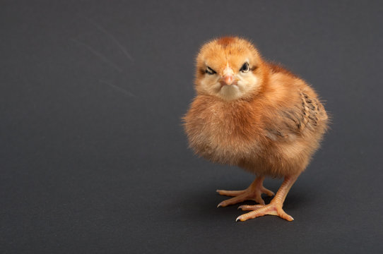 Angry Bird - chick. isolated on black background