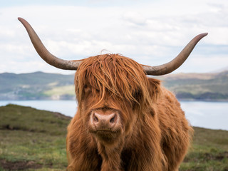 Photo sur Aluminium Vache Highland Cattle