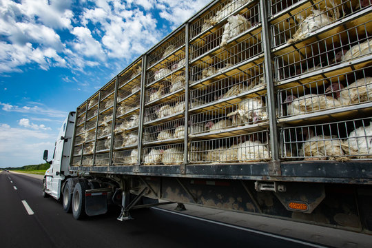 low angle and rear view of a transportation turkey truck on the roads, lot of white turkeys in cages, The process of transporting poultry from the farm to the slaughterhouse concept.