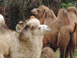 Fotorolgordijn Lama Closeup shot of a herd of camels in the middle of a field