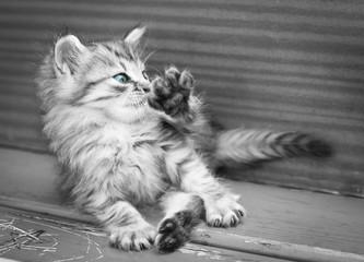 kitten washes. black and white photo