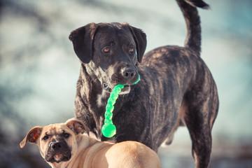 Fototapeta Hund mit Spielzeug und Welpe im Hintergrund obraz