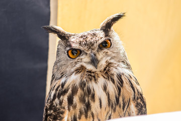 Detailed pic of an owl on a nice light. They are nocturnal birds with a large head, binocular vision, binaural hearing, and feathers adapted for silent flight. The eyes are really big black and orang