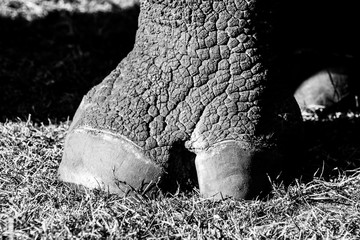 close up black and white pic of a rhino paw in the safari, beautiful and well detailed wrinkled skin with a sunset light and shadow make a perfect contrast.