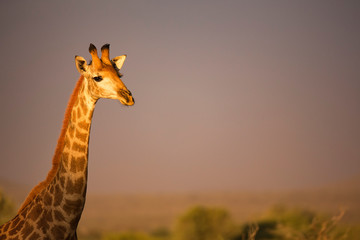 Foto op Canvas Giraffe Giraffe