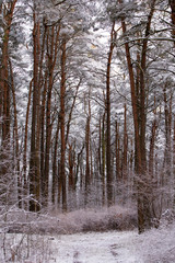 Winter pine forest, trees in the snow