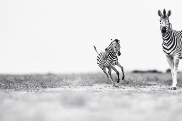 Wall Murals Zebra galloping Foal