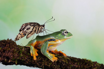 Butterfly on the back of a flying frog, Indonesia