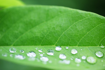 Wall Mural - water drop on green leaf background