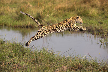 Wall Murals Leopard Leaping Leopard
