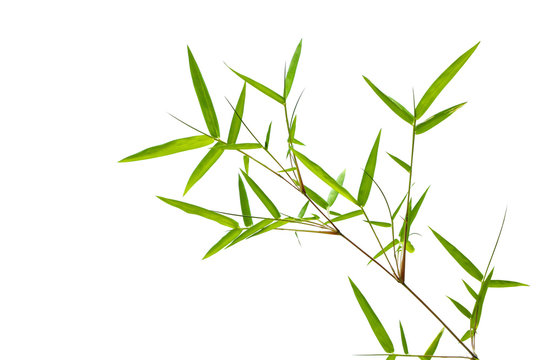 Green bamboo leaf isolated on white background..