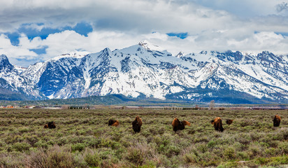 Herd of Bison Graze in the Meadow in Grand Tetons National Park, Wyoming, USA