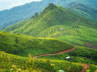 Coffee plantation landscape on top of green mountain and curved rural road