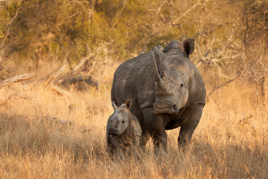 White Rhinoceros and Baby