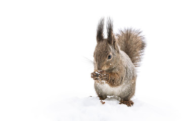 little red squirrel sitting in white snow in park and eating nut, closeup view