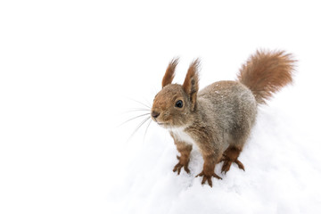 curious little red squirrel sitting in white snow background