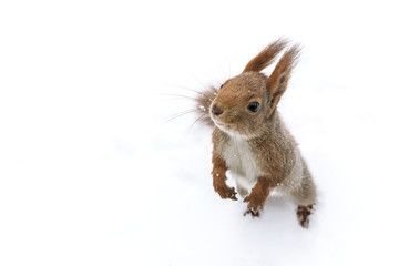 cute young red squirrel on white snow background, closeup view