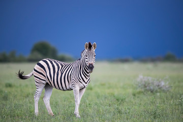 Canvas Prints Zebra Stormy Zebra