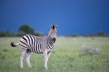 In de dag Zebra Stormy Zebra