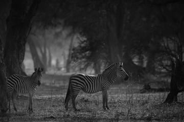 Aluminium Prints Zebra Black and white zebta
