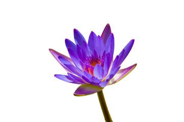 Garden Poster Lotus flower lotus flower isolated on white background