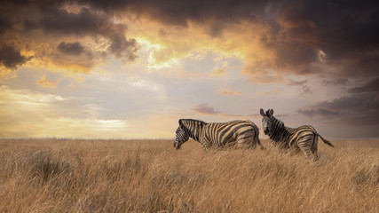 Photo sur Aluminium Zebra two Lonely Zebras
