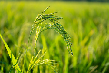 Green rice tree on the rice field.