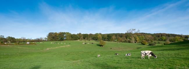 cows graze in green meadow near Epen in dutch province of zuid limburg