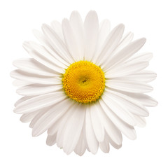 Papiers peints Marguerites One white daisy flower isolated on white background. Flat lay, top view. Floral pattern, object