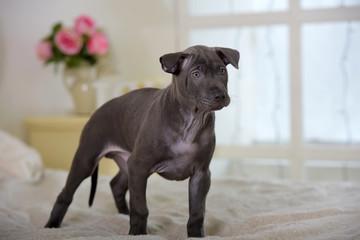 Gray Thai ridgeback puppy