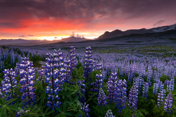 Lupine field in South Iceland. Skaftafell national park