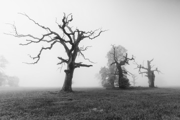 Old oaks in Rogalin on a foggy morning. Black and white landscape photography.