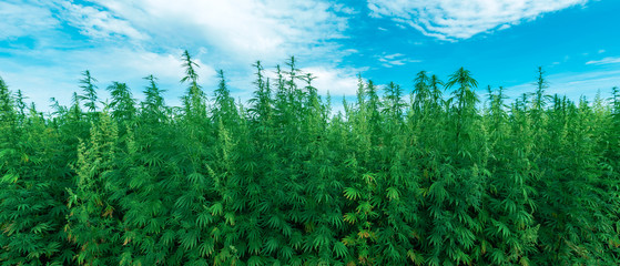 Cultivated industrial hemp farm field