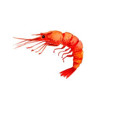 watercolor drawing shrimp