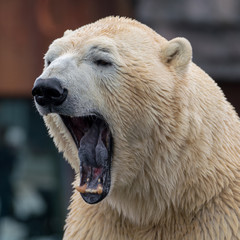 Photo sur Plexiglas Ours Blanc polar bear mouth