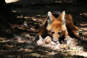 Fuchs mit gefiederter Beute