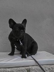 Foto op Aluminium Franse bulldog french bulldog on black background
