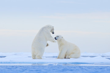 Polar bear dancing on the ice. Two Polar bears love on drifting ice with snow, white animals in the nature habitat, Svalbard, Norway. Animals playing in snow, Arctic wildlife. Funny image from nature.
