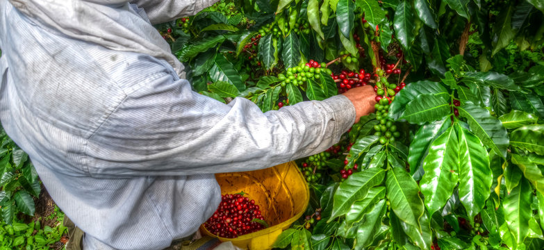 Farmer picking coffee beans
