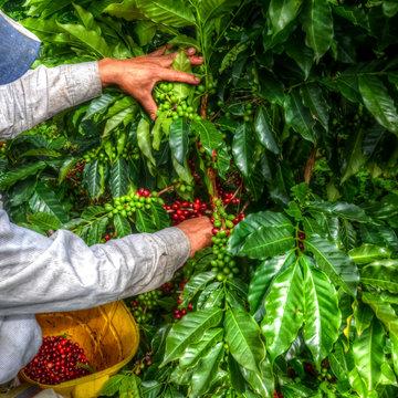 Farmer picking coffee beans