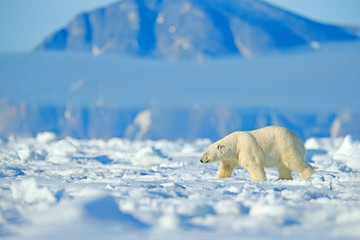 Dangerous bear sitting on the ice, beautiful blue sky. Polar bear on drift ice edge with snow and water in Norway sea. White animal in the nature habitat, Europe. Wildlife scene from nature.