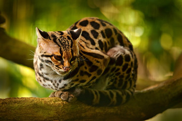 Wildlife in Costa Rica. Nice cat margay sitting on the branch in the costarican tropical forest. Detail portrait of ocelot, nice cat margay in tropical forest. Animal in the nature habitat. Fotomurales