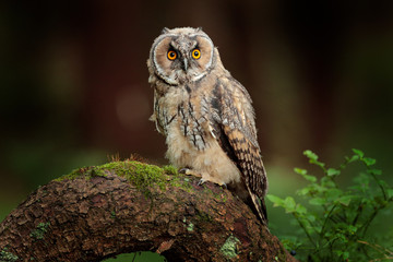Wall Mural - Long-eared Owl sitting in green vegetation in the fallen larch forest during dark day. Wildlife scene from the nature habitat.  Face portrait with orange eyes, Poland, Europe.